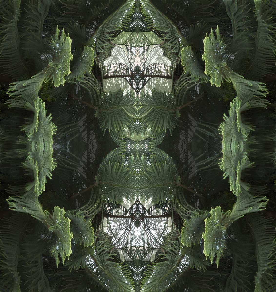 Araucaria(2)